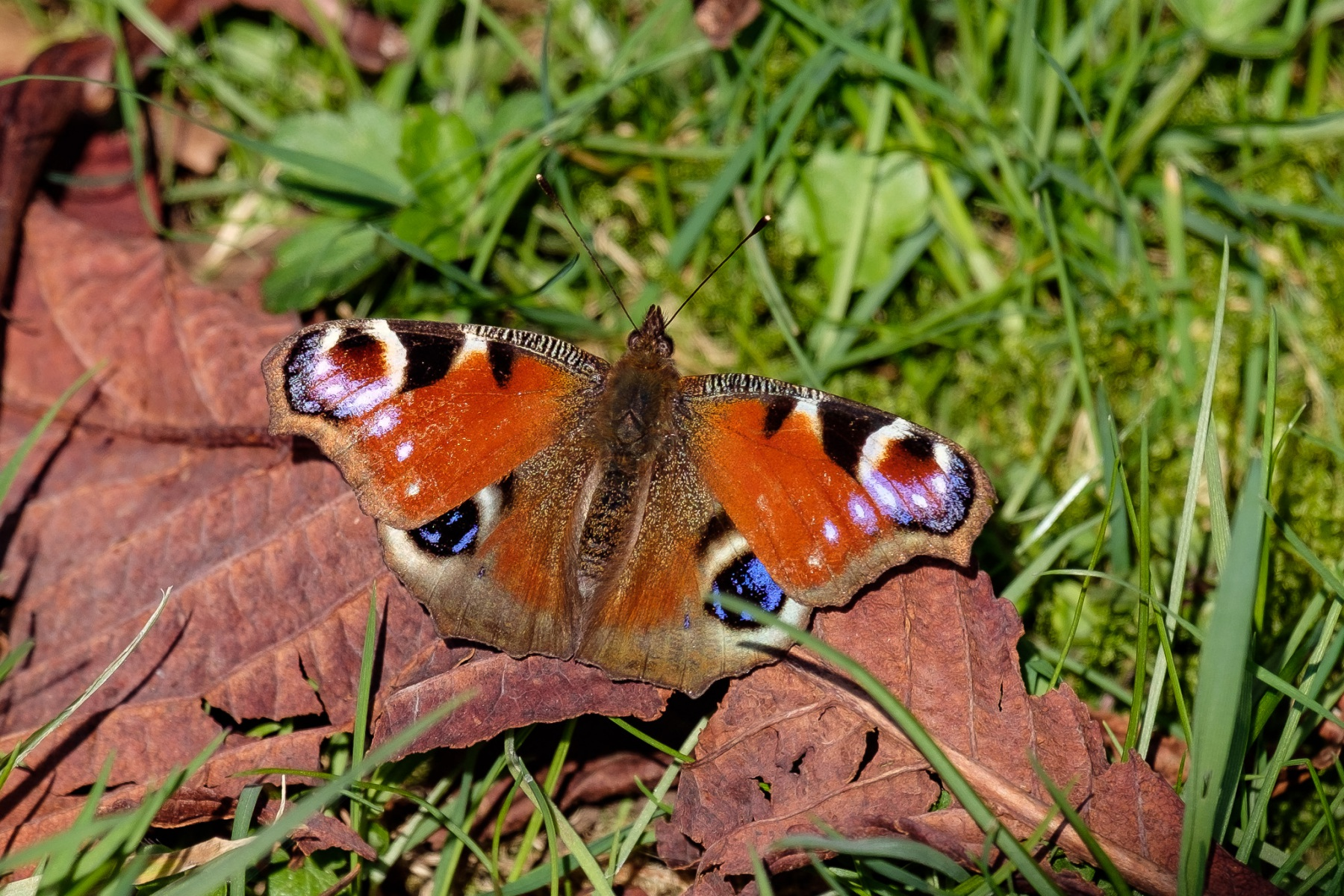peacock-butterfly-1